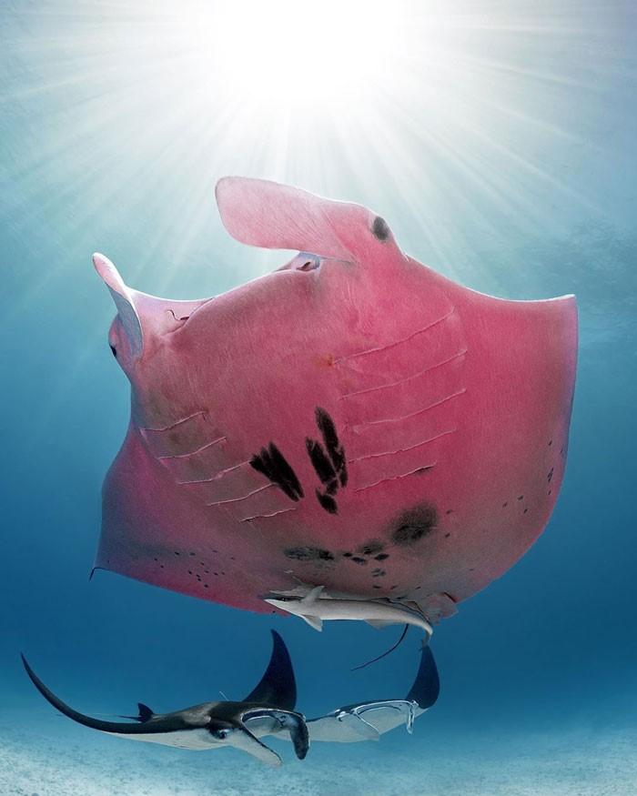 Un scafandru a descoperit un diavol de mare roz!